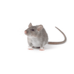 small grey house mouse on white background