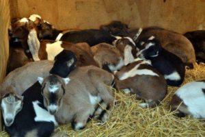 Animal Babies & Brunch @ Prairie Fruits Farm and Creamery