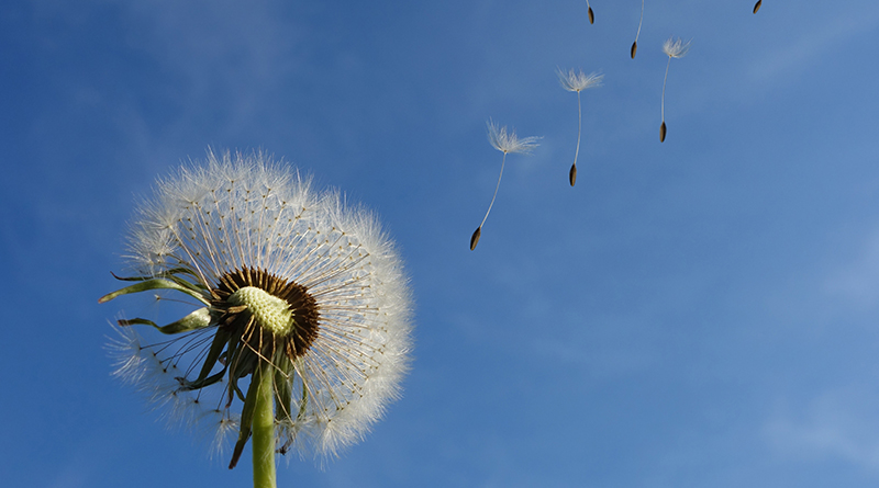Dandelion Sky Flower Nature 39669