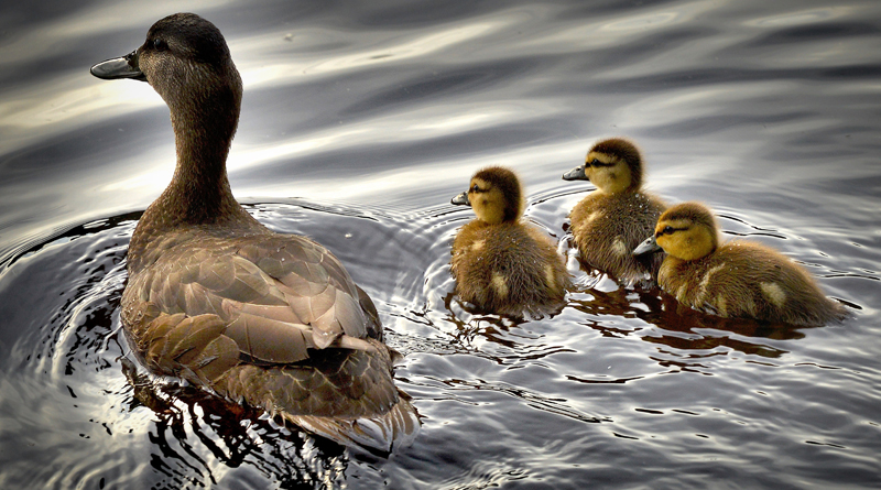 Man With PTSD Triumphant In Battle To Have Ducks