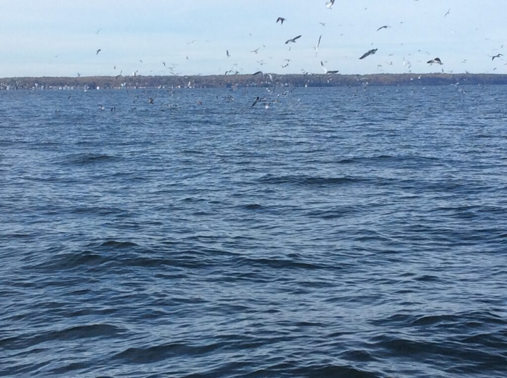 Seagulls swarming above the water.