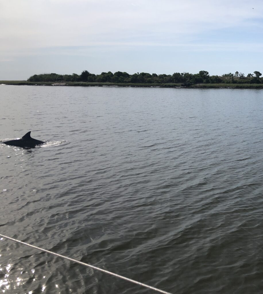 Dolphin swimming in ICW