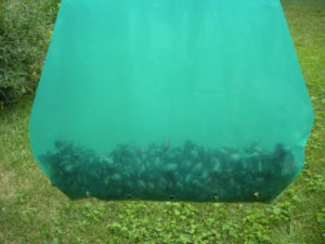 Japanese Beetle Trap