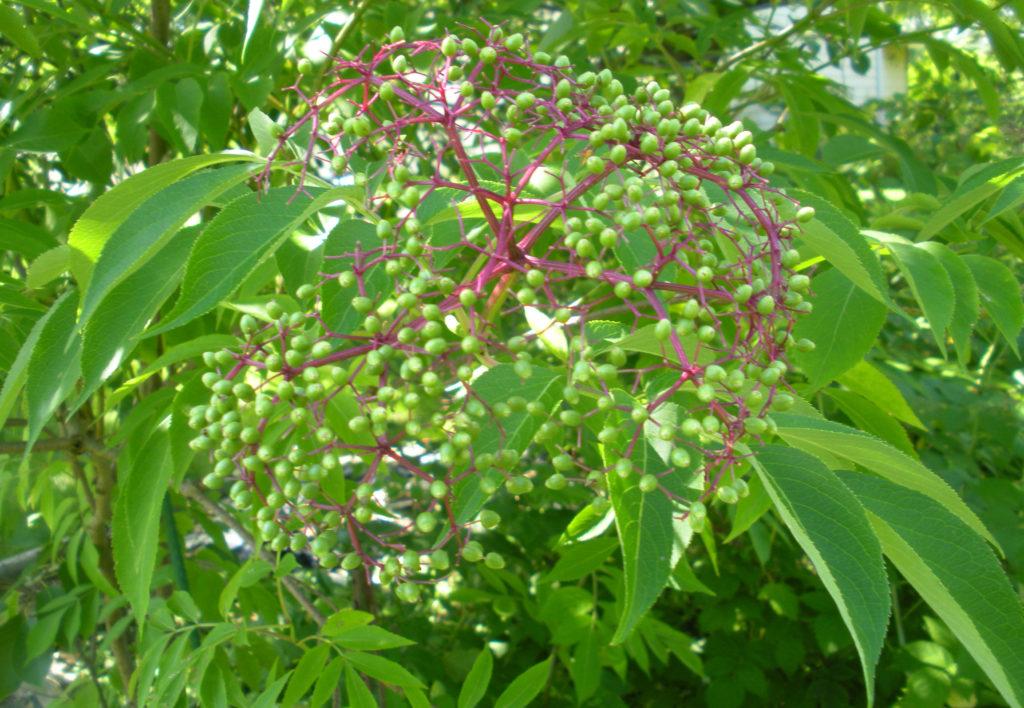 Elderberries developing
