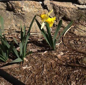 Sad lone daffodil
