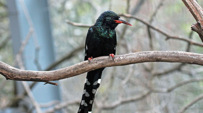Green wood hoopoe, By DickDaniels, CC, Wikimedia commons