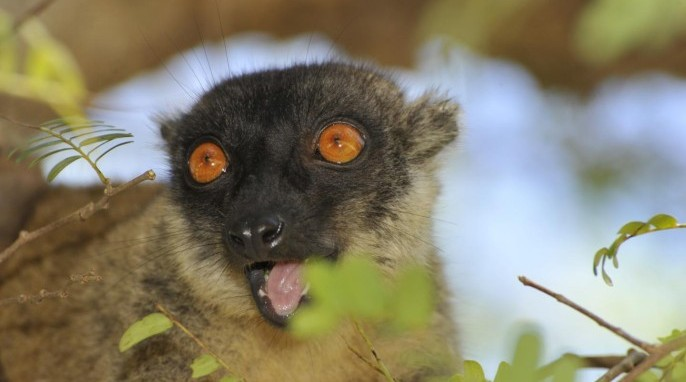 The habitat of this brown lemur in Madagascar is likely to shrink by half before the end of the century due to climate change, finds a Duke University study. (David Haring, Duke Lemur Center)