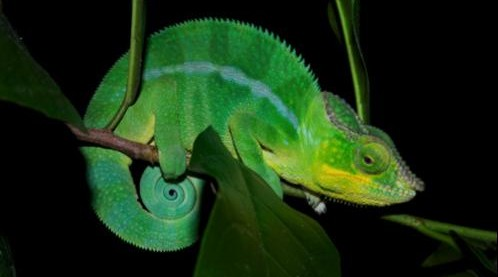 Male panther chameleon (Furcifer pardalis) photographed in Madagascar (© Michel Milinkovitch)
