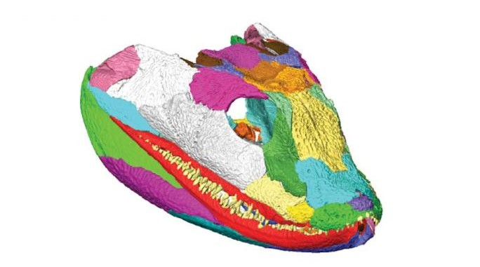 "3D reconstruction of the tetrapod skull. Top image: Right facial skeleton and skull roof shown in ""exploded"" view to show how the bones fit together. Center image: Left side of the cranium (braincase omitted) is shown in internal view. Bottom image: Right lower jaw in ""exploded"" view to illustrate sutural morphology. Individual bones shown in various colors. (Porro et al.)"
