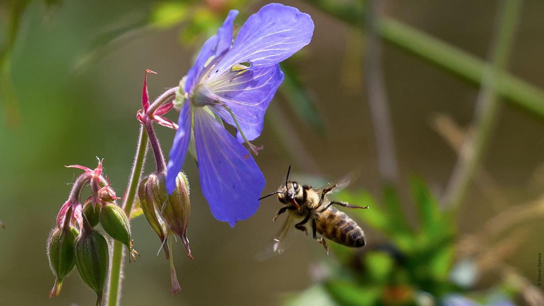 Pollinators: Honeybee visiting wildflowers