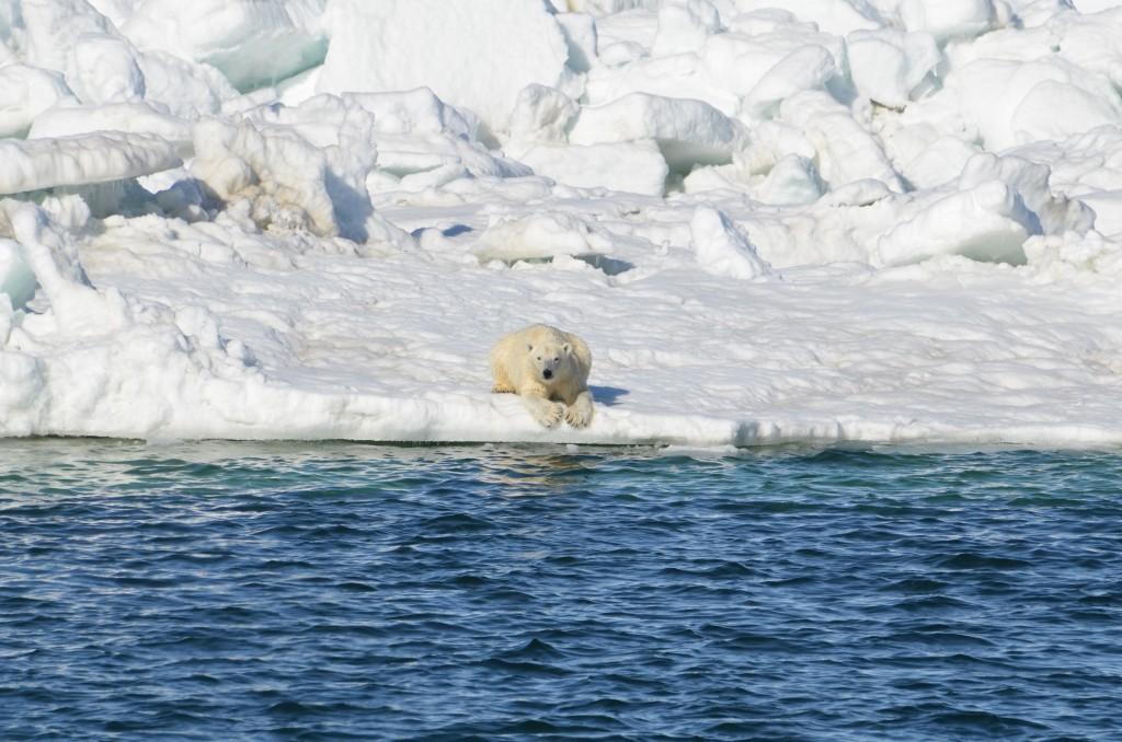 Polar Bears: Polar bear laying down to dry after a swim in the Chukchi sea, Alaska (Brian Battaile, USGS)
