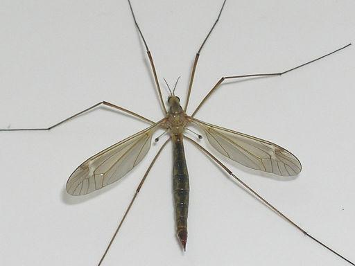 Crane fly, or mosquito eater (Pinzo via Wikimedia Commons))