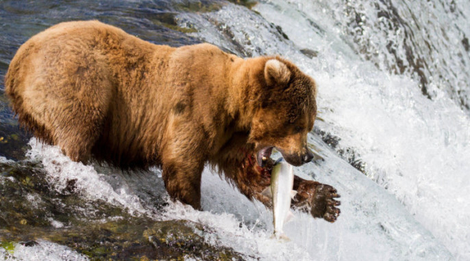 Alaska wildlife photography: behind the scenes; Grizzly bear catching salmon in Alaska