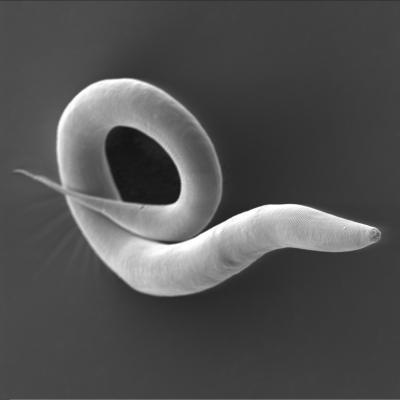 The worm Caenorhabditis elegans is a very well-studied model organism in biology (Antje Thomas, Hinrich Schulenburg, Kiel University)