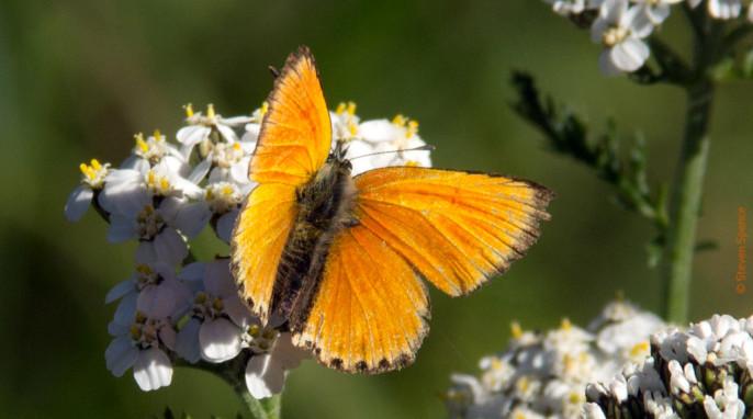 Butterflies: Enjoying wildflowers. Tentative identification: Scarce Copper; German Dukatenfalter; Latin Heodes virgauraeae
