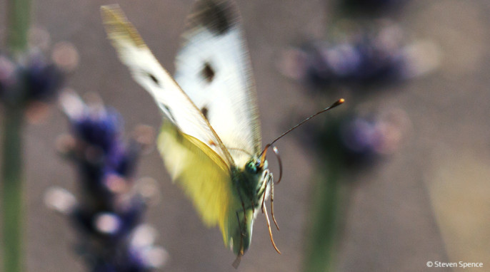 A butterfly in motion as they are best observed. Tentative identification: Cabbage White; German Großer Kohlweißling; Latin Pieris brassicae
