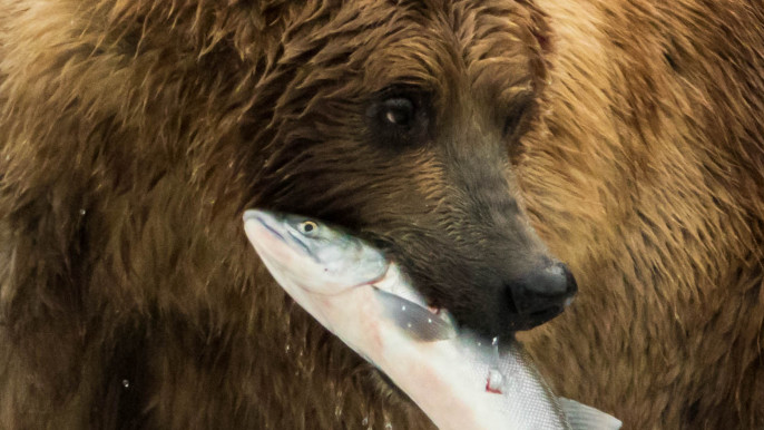 Grizzly bears fishing for salmon in Alaska