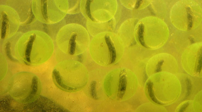 Green Grow the Salamanders