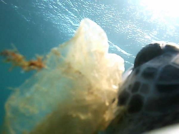 Turtle-cam captures a green turtle ingesting a plastic bag. Sea turtles.