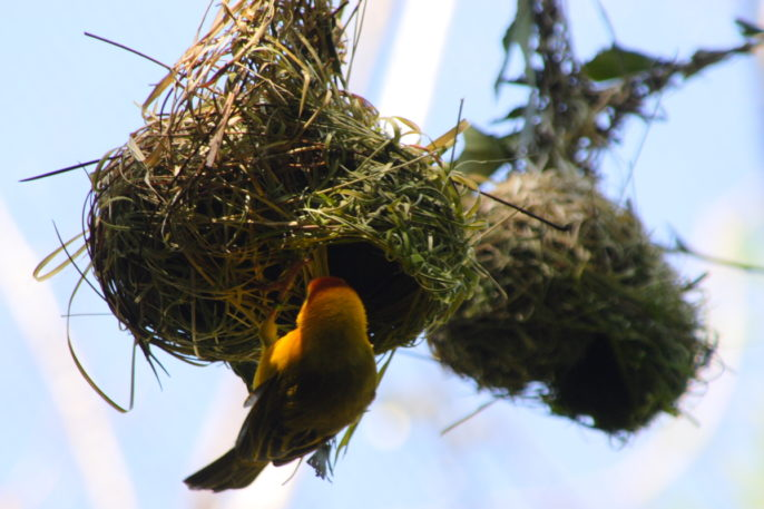 Evolution, Nests and Neurons: Variation in shape and structure of the delicate, intricate nest of the Taveta golden weaver is likely to be influenced by heritable genetic variants. Published on Wikimedia Commons by Robert Lawton under a Creative Commons Attribution-Share Alike 2.5 Generic license.
