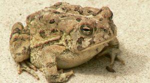 Tracking Climate Change Through Hibernating Toads