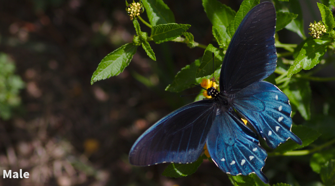 Life Cycle of a Pipevine Swallowtail Butterfly
