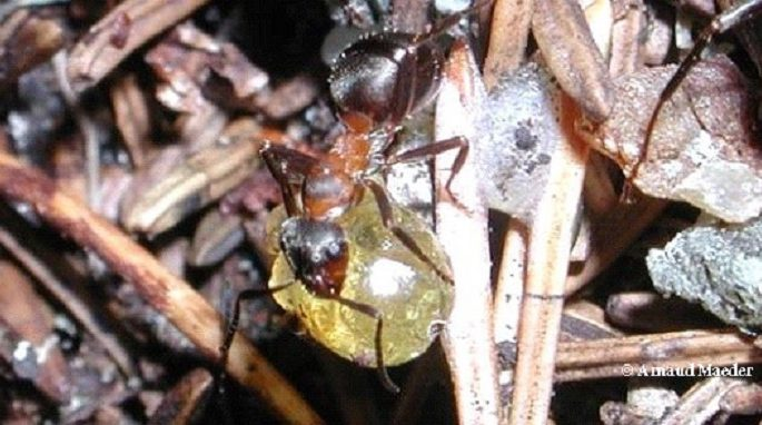 Wood Ants Make Defensive Cocktails Against Microbes