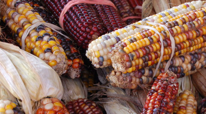 GMOs and the Risk to Our Genetic Heritage