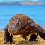 Komodo Dragon Blood Inspires Alternative Antibiotic