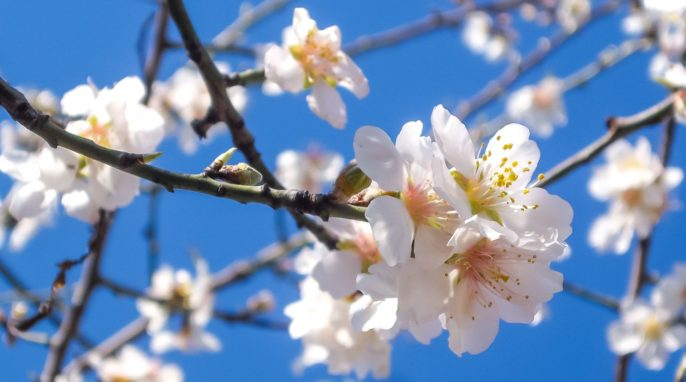 Chemicals Used on Almond Trees Linked to Bee Deaths