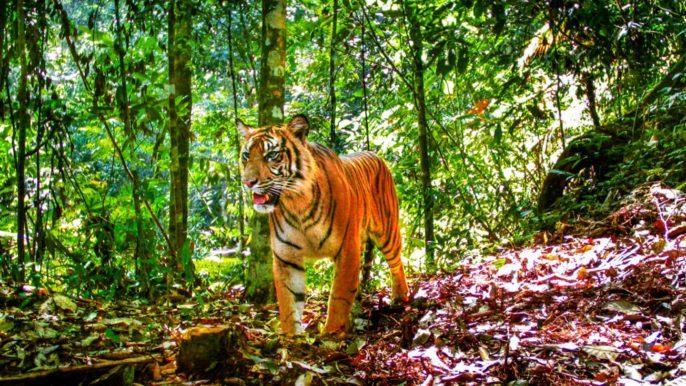 Sumatran Tigers Clinging to Survival