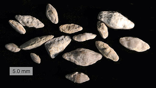 mass extinction event: Fusulinids from the Topeka Limestone (Virgilian, Upper Carboniferous) of Greenwood County, Kansas, USA. Photographed by Mark A. Wilson (Department of Geology, College of Wooster