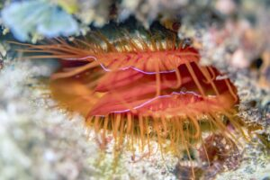 A disco clam shows off it's bright red tissue and flashing display. Lindsey Dougherty, University of Colorado at Boulder