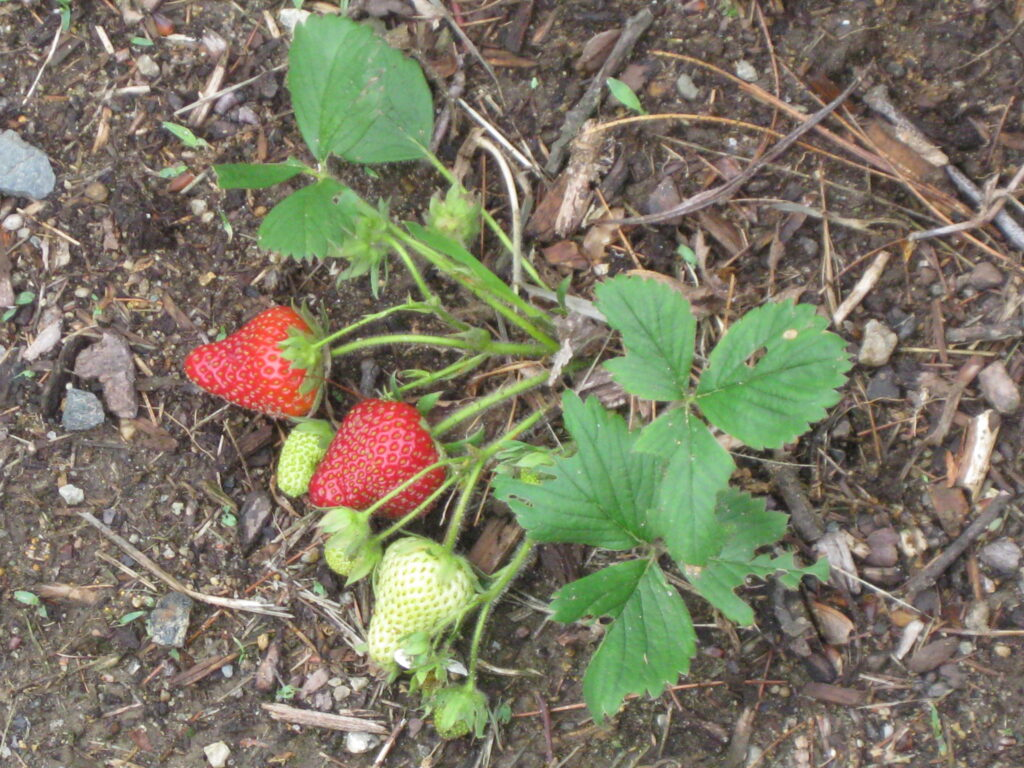 organic strawberry plant: photo by Nathan Cooprider via Flickr (CC BY 2.0)