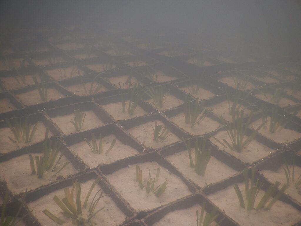 Growing eelgrass