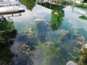 lyngbya algae blooms in a canal clogging spring