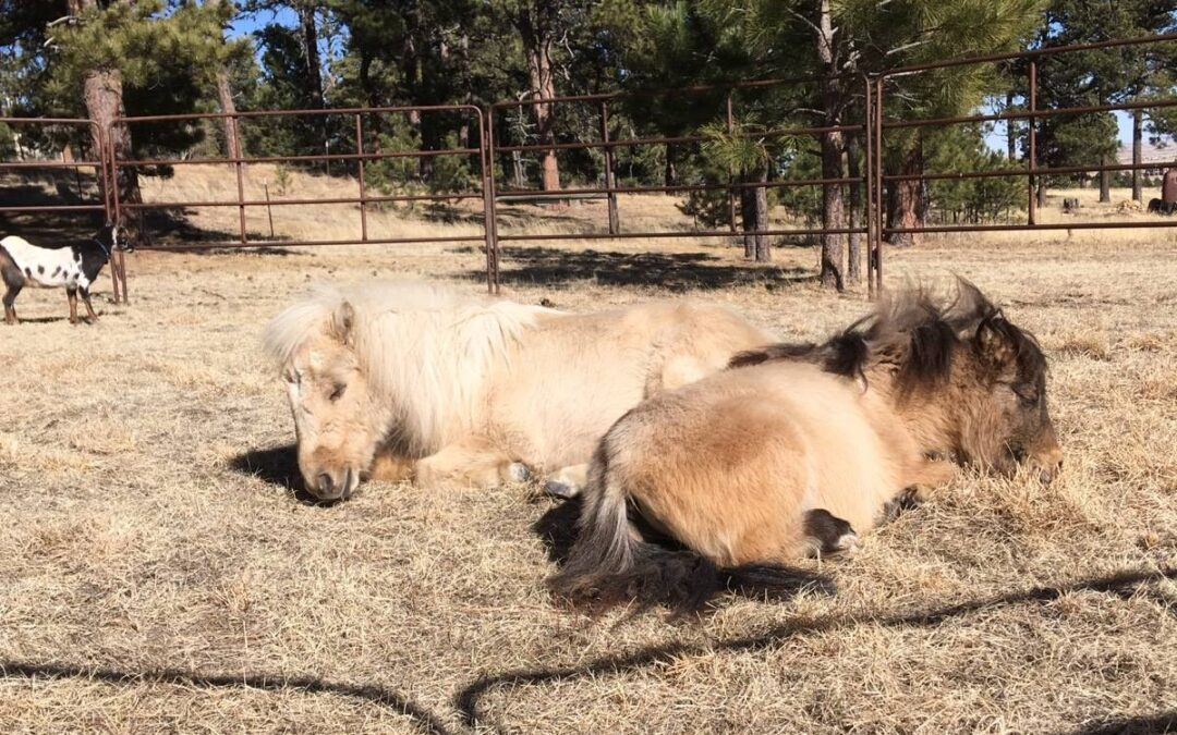 Two miniature horses nap in the sunshine