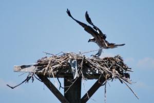 tilghman island maryland osprey