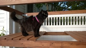 bonkers investigating outdoor cat enclosure / catio leash
