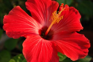 red hibiscus in our yard