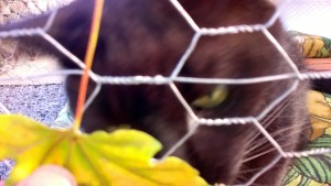 darwin playing with a leaf in the outdoor cat enclosure / catio