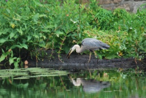 great blue heron holding his fish in his mouth