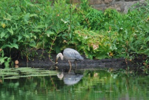 great blue heron carefully rinsing his fish off in the river