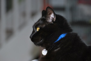 darwin wearing a blue collar with a bell