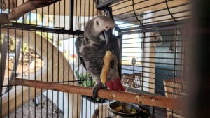 alex the parrot eating a snack at the pioneer inn, lahaina maui