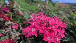 pink flowers, maui