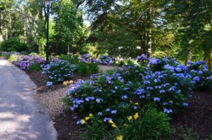 Hydrangea Festival – Heritage Museums & Gardens