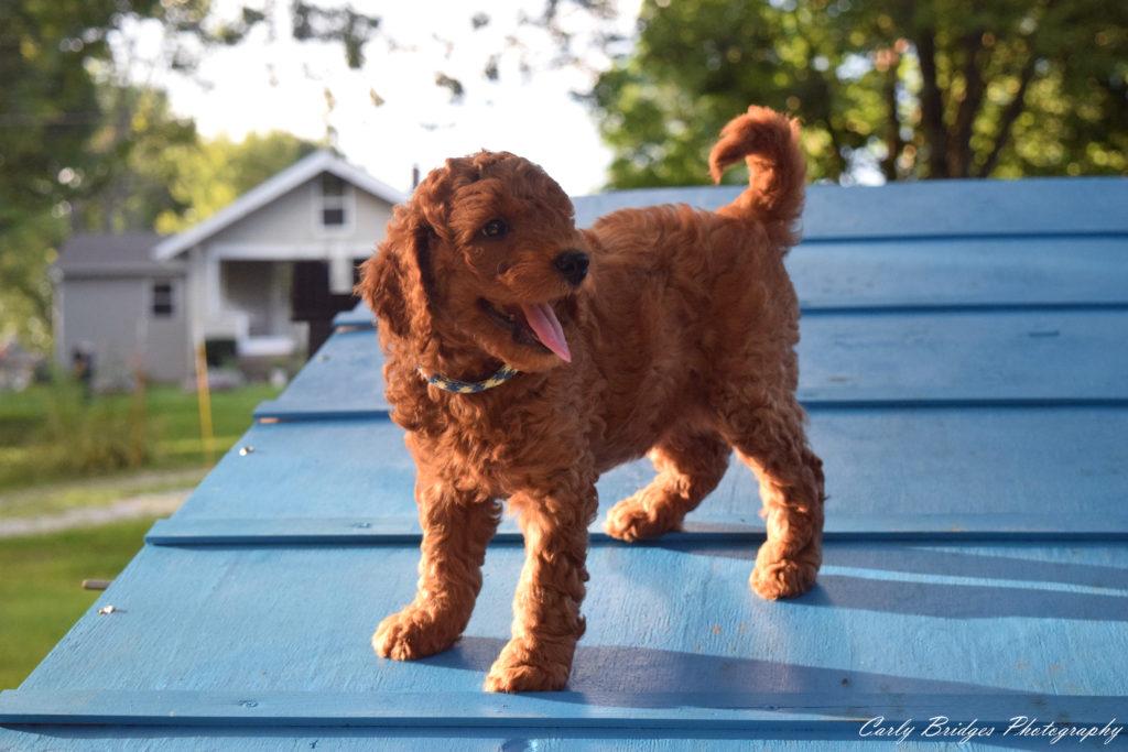 Puppy A-Frame