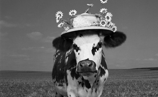 Sol em Libra com Ascendente em Touro - vaca com chapéu florido