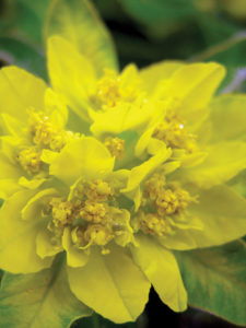 Cushion spurge euphorbia neon yellow perennial
